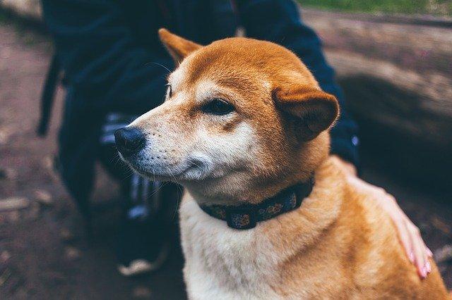 Čakanka obyčajná prospeje aj vášmu psovi