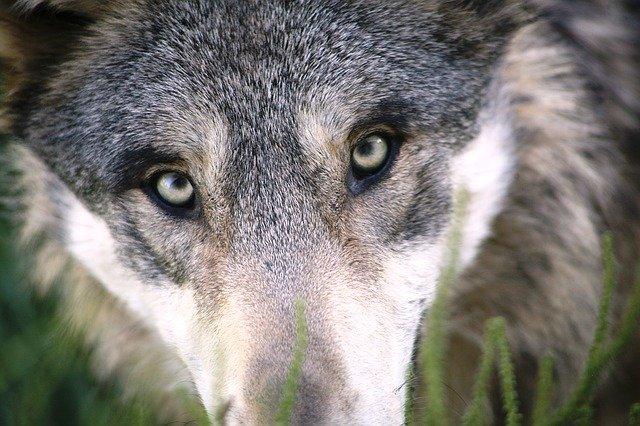 divoký vlk.jpg